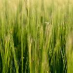 Zelený jačmeň a jeho liečivé účinky