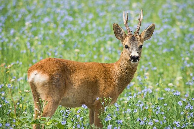 Jarná lovecká sezóna sa začína lovom na srnce